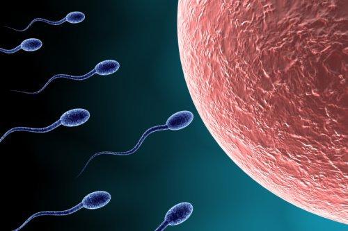Samenspender - Spermien nähern sich Eizellen