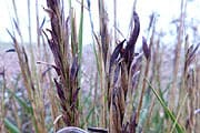 Claviceps purpurea (Mutterkorn) (© Leibniz Uni Hannover)