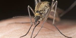 Stechmücken Mücke